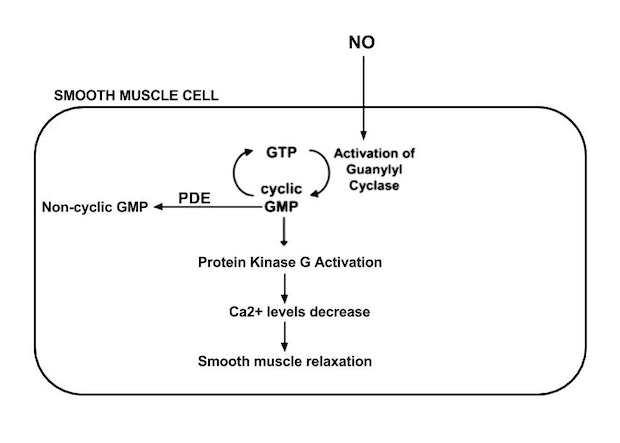 Ap biology cell signaling pathways and immune cells signaling cascade of nitric oxide signal involving cyclic gmp guanosine monophosphate guanosine triphosphate gtp protein kinase g calcium ions ca2 ccuart Image collections
