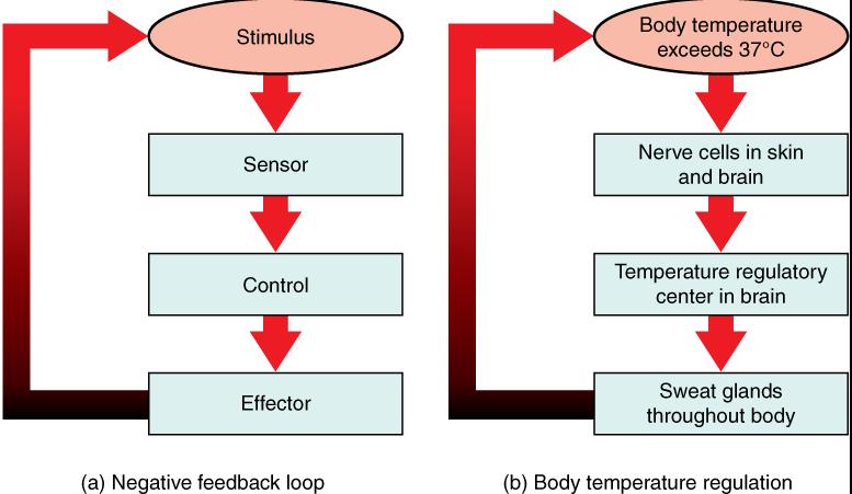 Ap biology feedback loops and regulation ccuart Images