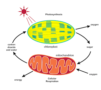 Ngss life sciences the carbon cycle photosynthesis and cellular ngss life sciences the carbon cycle photosynthesis and cellular respiration ccuart Gallery